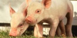porcos1